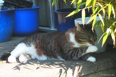 After-dinner - Happy Caturday (Finn Frode (DK)) Tags: birthday party summer pet cats animal cat garden denmark outdoor olympus mixedbreed bastian domesticshorthair happycaturday omdem5