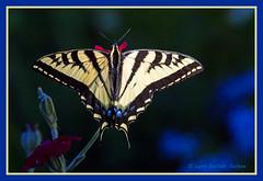 Swallowtail drinking from campion blossom (walla2chick) Tags: flower butterfly washington wa swallowtail wallawalla campion img2204