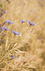 Cornflowers by the wayside (*M.*) Tags: summer nature field dof depthoffield cornflower wayside cornflowers