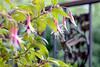 Anna's Hummingbird on my balcony enjoying some fuchsia (iaakisa) Tags: bird animal hummingbird annashummingbird frommybalcony