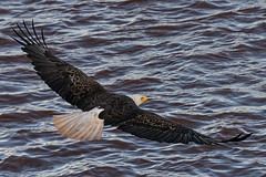 Departing Eagle (20160602-190934-PJG) (DrgnMastr) Tags: bravo fb cropped eagles baldeagles littlestories oe2 petitcodiacriver oe1 avianexcellence diamondclassphotographer flickrdiamond overtheexcellence goldwildlife naturesspirit picswithsoul naturescarousel ia24 dmslair sunshinegroup opticalexcellence grouptags allrightsreserveddrgnmastrpjg pjgergelyallrightsreserved