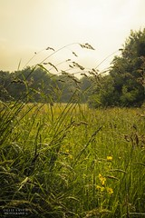 A Meadow Morning (Ollie Smith Photography) Tags: nature field grass landscape outdoors nikon cheshire meadow wildflower lightroom runcorn halton sigma1750 d7200