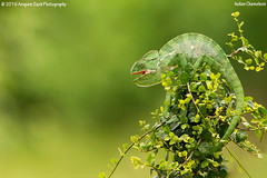 Indian Chameleon!! (_J1C4959) (Anupam Dash Photography) Tags: anupam anupamdashphotography anupamdash adult aplusphoto beauty reptiles indianchameleon chameleon canon camera colors canon500mmf4 color clouds canon1dmarkiv colourartaward nature naturesfinest naturephotography north wildlife wild wildlifephotographer water rescue indian india is