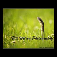 snake in the grass (wildlifephotonj) Tags: snake wildlife snakes naturephotography gartersnake naturephotos wildlifephotography snakeinthegrass wildlifephotos gartersnakes natureprints wildlifephotographynj naturephotographynj