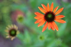 Echinacea 'Cheyenne Spirit', orange, bird's-eye view (HansHolt) Tags: echinacea cheyennespirit coneflower zonnehoed orange oranje petals bloemblaadjes flower bloem bokeh macro birdseyeview canon 6d canoneos6d canonef100mmf28macrousm