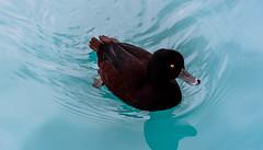 Enjoying its Swim (Jocey K) Tags: newzealand water ducks southisland centralotago blueduck tripdownsouth mackenziebasin whio mtcookalpinesalmonfarm pukakihydrocanal