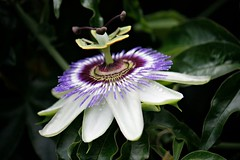 It is a matter of Passion... (Sylvia...Sometimes) Tags: weed ngc memories vine exotic passion passionflower maypops