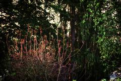 morning sunlight (camerito) Tags: morning sunlight tree leaves bush flickr bltter bume j4 morgens sonnenlicht strucher nikon1 camerito