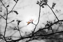 Cherry Blossoms 2016 (rieninsidia) Tags: cherry blossoms d300 50mm nikon hokkaido sapporo maruyama