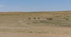 transmongolie-288 (Vaiz Ha) Tags: mongolia camels steppe