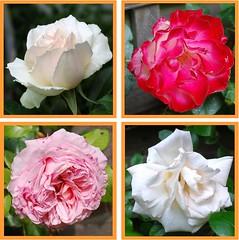 Mein Freund ist wei und rot (amras_de) Tags: flower fleur rose flor rosa roos blomma rosen gl blume fiore blte blomst rs rozen virg lore bloem blm iek floro roser kwiat flos ciuri kvet arrosa kukka rozes cvijet vrtnica flouer blth cvet zieds ruusut is trandafir floare rza rua rzsa blome rozo iedas roe rue rosslktet