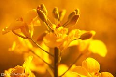 Split Tone Oil Seed Rape, Featherstone (richardstelmach) Tags: uk macro nature field yellow landscape outdoors farm yorkshire wakefield split agriculture tone westyorkshire pontefract featherstone splittone oilseedrape
