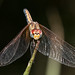 Dragonfly scanning from a perch
