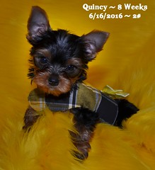My Wife New Dog (Richard Elzey) Tags: yorkie yorkshire pup puppy dog male mrflowers quincy wife pet elzey florida akc registered