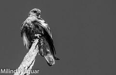 Whistling Kite ( Juvenile) (OM-Digital) Tags: mono melbourne kites raptor rgb birdsofprey