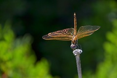 (robra shotography []O]) Tags: summer closeup estate dragonfly libellula sooc