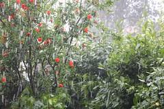 Traces of hails                              Tracce di grandine.                     #grandine #granizo #tuscanygram #haglvejr #grele #glazba #igerstoscana #bagyo #natgeo #garden #gardenunderhail #lovegarden #tempestade #hail #hailstorm #stormyweather (stefola24) Tags: hail garden granizo stormyweather hailstorm tempestade natgeo grandine lovegarden glazba grele bagyo haglvejr tuscanygram igerstoscana gardenunderhail