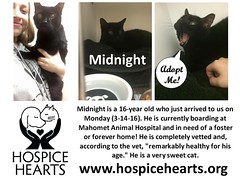 MIDNIGHT (Hospice Hearts) Tags: rescue cats cat illinois feline il foster animalrescue urbana felines champaign volunteer adopt nonprofit hospicehearts wwwhospiceheartsorg