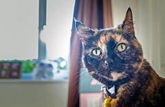 Smudge (June 2016) (5) Fuji X70 Compact) (1 of 1) (markdbaynham) Tags: pet cute animal cat prime feline fuji 28mm smudge fujinon f28 compact x70 apsc fujix 16mp transx