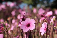 Dancing to the Sun (acwills2014) Tags: pink flowers flora purple bokeh depthoffield dancingtothesun