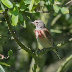 Linotte mlodieuse (Jean Louis Bou) Tags: bird oiseau cardueliscannabina commonlinnet linottemlodieuse fringillids passriformes mazresddoarigefrance