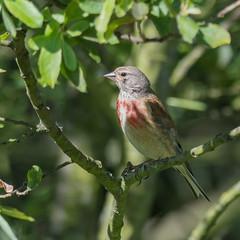 Linotte mlodieuse (Jean Louis Bou) Tags: bird oiseau cardueliscannabina commonlinnet linottemlodieuse fringillids passriformes mazresddoarigefrance