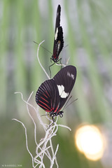Butterfly 2016-81 (michaelramsdell1967) Tags: light red two color nature beautiful beauty animal animals closeup butterfly bug garden insect wings nikon focus colorful natural vibrant butterflies vivid vine insects bugs upclose mariposa boheh natutal