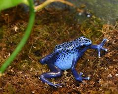 Poison Dart Frog (NikonMike53) Tags: blue reptile frog nczoo poisondartfrog northcarolinazoo