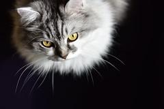 MaX (hoffi99) Tags: black cat hoffi99 portrait white