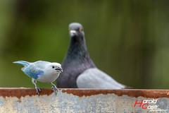 Azulejo y Paloma. (Harold Castro) Tags: bird ave pajaro birdwatch avesdevenezuela birdwatching azulejo bluejay paloma