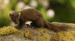 Pine Marten. (Sandra Standbridge.) Tags: animal mammal scotland moss outdoor pinemarten wildandfree
