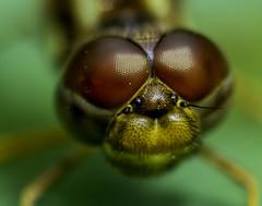 DragonFly_SAF9999-1 (sara97) Tags: nature closeup insect outdoors dragonfly missouri saintlouis predator towergrovepark mosquitohawk flyinginsect urbanpark photobysaraannefinke copyright2016saraannefinke copyright2016saraannefinke