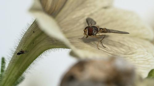 Episyrphus balteatus, Syrphidae_II