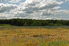 Am Waldrand (M. Franziska D.) Tags: sommer felder blau landschaft landleben mittelfranken kornblumen