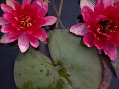 P6303726 (louisecrouch) Tags: reflection nature garden botanical outdoors pond waterlilies lilypads waterplants lilypond summergarden countrygarden pinklilies lilyflowers
