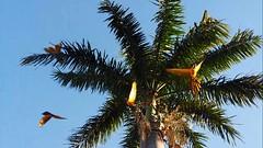 Festival das Araras!  //  Festival of macaws! (J. Garcia Dias) Tags: blue sky green planta yellow azul pssaro cu ave imperial folha macaw rvore arara amarela palmeira ararauna canind
