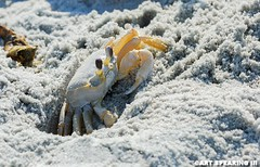 Curious Crab At Huntington Beach State Park (freshairphoto) Tags: sand beach huntington state park south carolina crab artspearing nikon d80 300mm telephoto teleconverter tripod