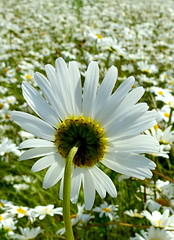 De zomer is begonnen/Summer has started (truus1949) Tags: natuur zomer bloemen weilanden margrieten