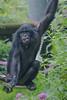2016-07-07-0139 (BZD1) Tags: bonobo animal synapsida mammal prim haplorhini hominidae hominini pan nature koelnerzoo panpaniscus