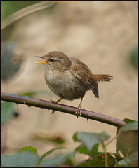 Wren (Tilly Lilley (Away)) Tags: bird troglodytestroglodytes sony500mmreflexlens sonyslta65