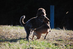 DSC_0068 (juliapee) Tags: dogs spring borderterrier dogsplaying lagotto romangolo