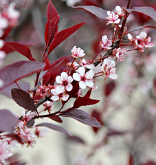 flowering plum tree (ThroughMyEyes_JKM) Tags: pink flowers red leaves petals spring indiana plumtree merrillvillein