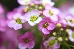 alyssum s (brooke.mullins.doherty) Tags: pink flowers purple alyssum