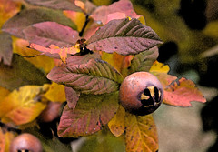 Medlar (mgjefferies) Tags: fruit painted australia queensland medlar mgjefferies