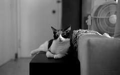 130609_006 (cybercynic) Tags: blackwhite cecilia 6x9 domesticcats 文家貓 voigtländerbessaiicolorskopar