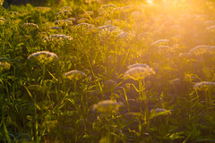 06-2013_06_12_21-__ (Yury Augulis) Tags: sunset summer nature beauty grass      2013