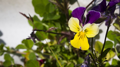 Garden Colours - Purple and Yellow (Clif Budden) Tags: flowers color colour me garden pansy forget not