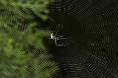 Spider eating series 29 (Richard Ricciardi) Tags: spider eating web spinne araa  araigne ragno timeseries     gagamba    nhn  spidertimeseries