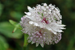 Astrantia, after the rain.... (littlestschnauzer) Tags: uk pink light summer white plant west flower macro green nature water up leaves rain weather shower beads petals nikon close yorkshire july tiny raindrops flowering unusual delicate dainty detailed glistening tinged 2013 d5000 astantia elementsorganizer11