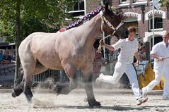 DSC_2442 (Ton van der Weerden) Tags: horses horse dutch de cheval belgian nederlands belges draft chevaux belgisch trait ijzendijke trekpaard trekpaarden